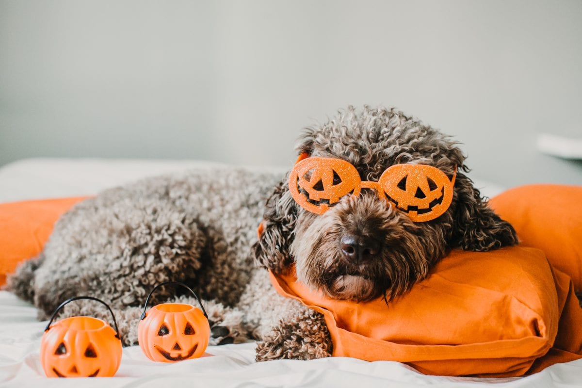 Top 5 Tips for Halloween & Bonfire Night Dog Anxiety